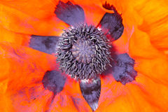 Red poppy inside Stock Photography