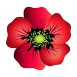 Red poppy isolated Stock Photo