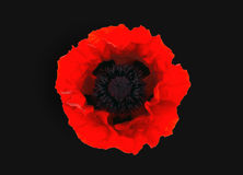 Red poppy isolated on black  background. One red poppy isolated on black  background Stock Photo