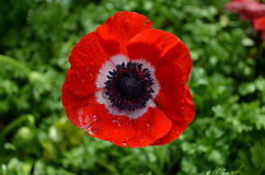 Red poppy isolated. Close up of red poppy fully bloomed Stock Image
