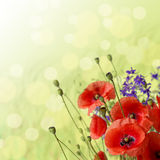 Red Poppy is isolated on a green background. Stock Images