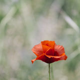 Red poppy isolated on a green background Royalty Free Stock Images