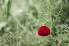 Red poppy isolated on a green background Royalty Free Stock Image