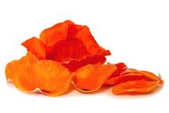 Red poppy isolated . Stock Photo