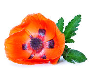 Red poppy isolated . Royalty Free Stock Photography