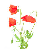 Red poppy isolated on white Stock Images