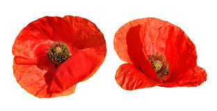 Red poppy. Isolated on white background Royalty Free Stock Photos