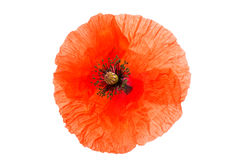 Red poppy isolated Stock Images