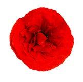 Red poppy isolated on white background Stock Image
