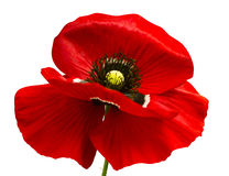 Red poppy isolated on white background.red poppy. beautif Royalty Free Stock Images
