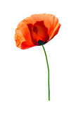 Red poppy isolated on white Royalty Free Stock Photos