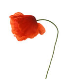 Red poppy isolated on white. Royalty Free Stock Images