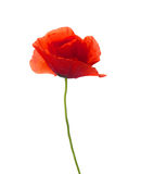 Red poppy Royalty Free Stock Photography