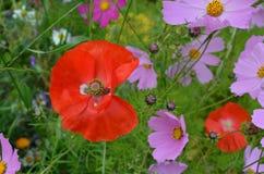 Red poppy on the kosmeya background. Red poppy on the pink kosmeya background Royalty Free Stock Photos