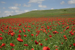 Red poppy. Landscape with field of red poppy flowers and clouds Royalty Free Stock Photo