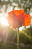 Red poppy. Poppy (lat. Papaveraceae) is a family of dicotyledonous plants of order Luticasone. Annual and perennial herbs, often containing milky juice; leaves stock photo