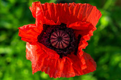 Red poppy. Poppy (lat. Papaveraceae) is a family of dicotyledonous plants of order Luticasone. Annual and perennial herbs, often containing milky juice; leaves royalty free stock photos