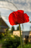 Red poppy. Stock Photography
