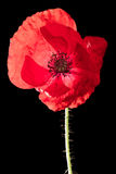 Red poppy. Macro of a red poppy with soft texture over a black background royalty free stock photo