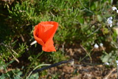 Red poppy on Maltese cliff. Mediterranean poppy near the Golden Bay Stock Photo