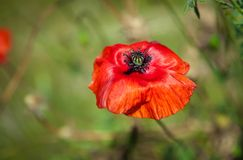 Red Poppy on the meadow Stock Photos