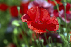 Red poppy on meadow Stock Photography