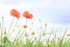 Red poppy in a meadow Stock Images