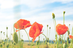 Red poppy in a meadow Stock Photography