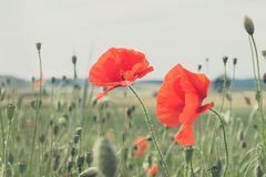 Red poppy in a meadow Stock Photo