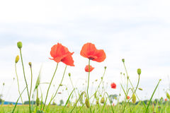 Red poppy in a meadow Stock Photos