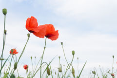 Red poppy in a meadow Royalty Free Stock Images