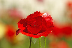 Red poppy on meadow Stock Image