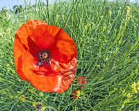 Red poppy in the meadow Stock Image