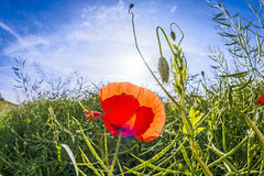Red poppy in the meadow Royalty Free Stock Photography