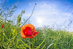Red poppy in the meadow Royalty Free Stock Photos