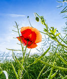 Red poppy in the meadow Stock Photography