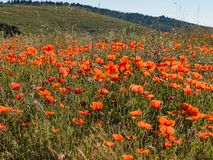 Red Poppy Meadow. French countryside painted in red. Early summer has arrived and the countryside in Provence is donning its red dress. Its a symphony in red royalty free stock image