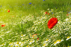 Red poppy on a meadow with a lot of white daisies or chamomile a Stock Photography
