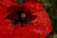 Red Poppy  in the meadow. Papaver rhoeas Close Up Royalty Free Stock Photos