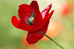 Red poppy on meadow Stock Photo