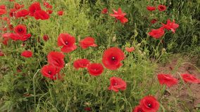 Red poppy in a meadow stock footage