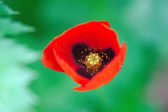 Red poppy of meadows. Papaver rhoeas royalty free stock image