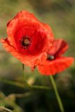 Red poppy in the morning sun Stock Photo