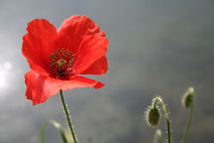 Red Poppy Mystic Stock Photo
