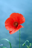 Only red Poppy Mystic Stock Images