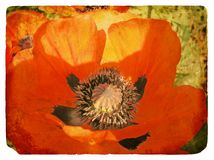 Red Poppy. Old postcard Royalty Free Stock Images