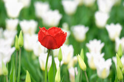 Red poppy over white tulips Royalty Free Stock Photography