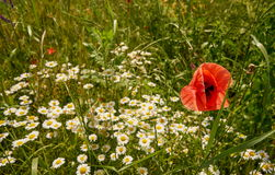 Red poppy with oxeye daisy in a meadow. Red poppy with oxeye daisy in a meadow close up.Papaver rhoeas and Leucanthemum vulgare royalty free stock images