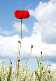 Red poppy papaver in corn field Stock Images
