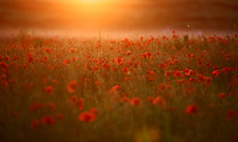 Red poppy Papaver rheas field. In warm evening light Stock Image